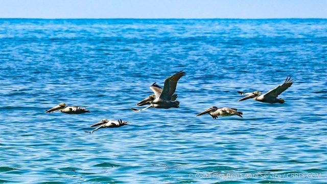 Brown Pelicans Costa Rica
