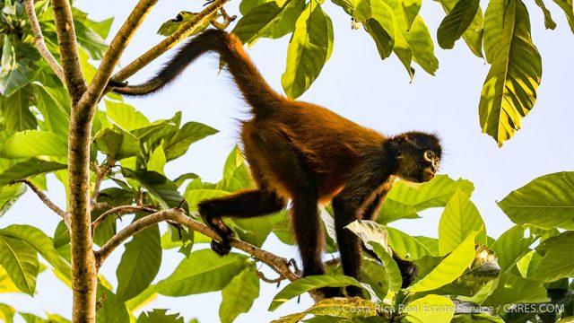 Geoffroy's spider monkey Costa Rica