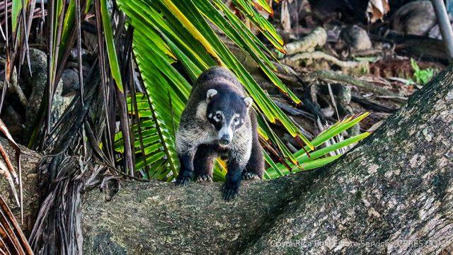 Coati Pizote Costa Rica