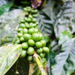 4 Hectare Coffee Farm