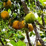 Tropical Citrus Trees
