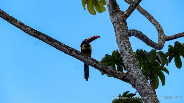 Tropical Birds of Costa Rica