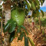 Mature Fruiting Trees