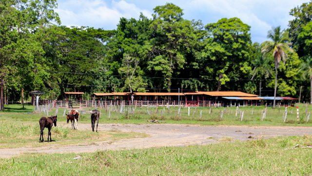 Working Cattle Farm