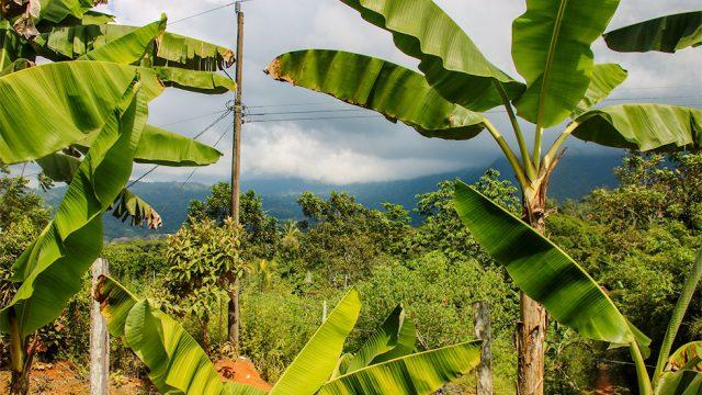 Mature Fruit Bearing Trees