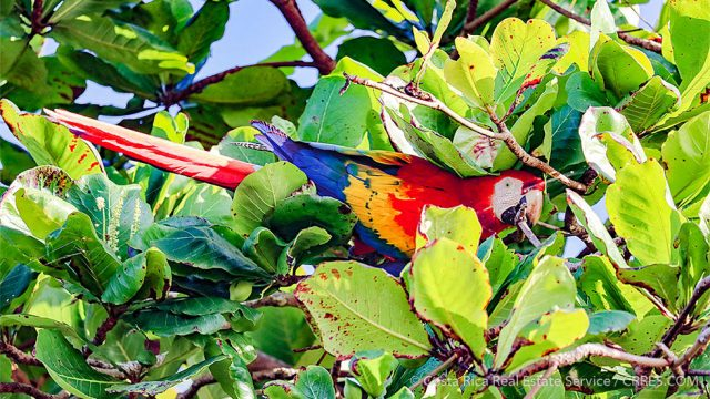 Scarlet Macaw Costa Rica