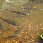 Mountain Home Heredia Pond Stocked With Trout