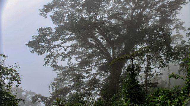 Mature Canopy