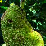 Mature Guanabana Trees
