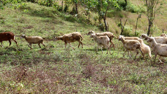 Functioning Sheep Farm in Costa Rica