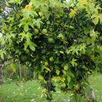 Mature Fruiting Plants