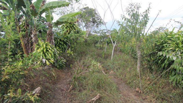 Coffee Plants & Fruit Trees