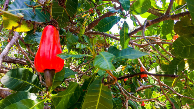 Planted with Tropical Fruits