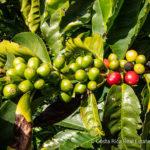 123-Acres of Coffee